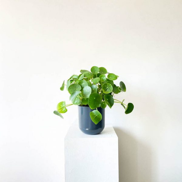 ghp pileapeperomioides 00
