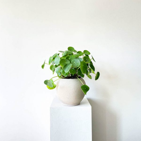 ghp pileapeperomioides 01