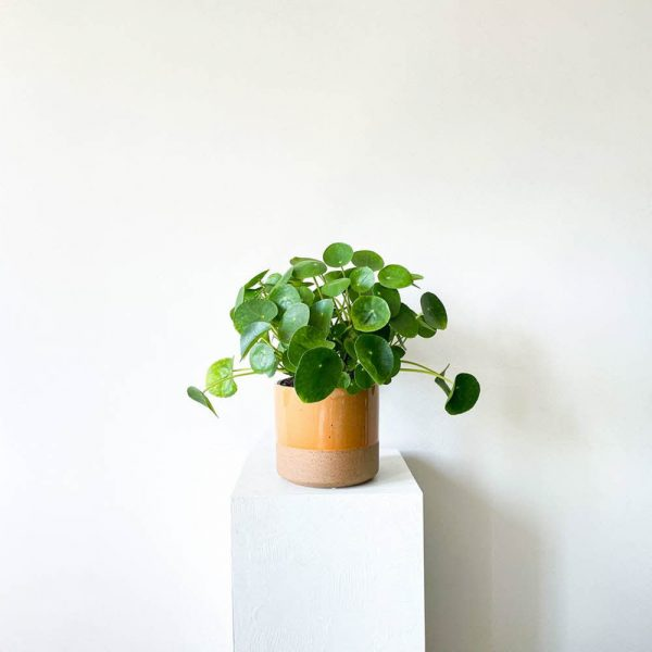 ghp pileapeperomioides 02