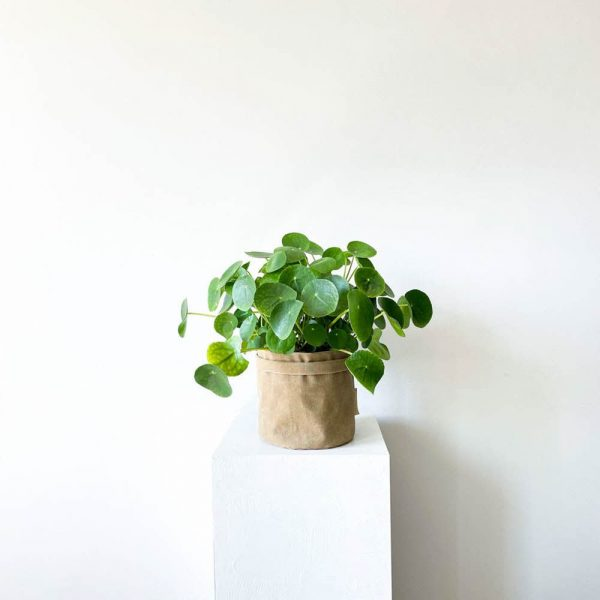 ghp pileapeperomioides 03