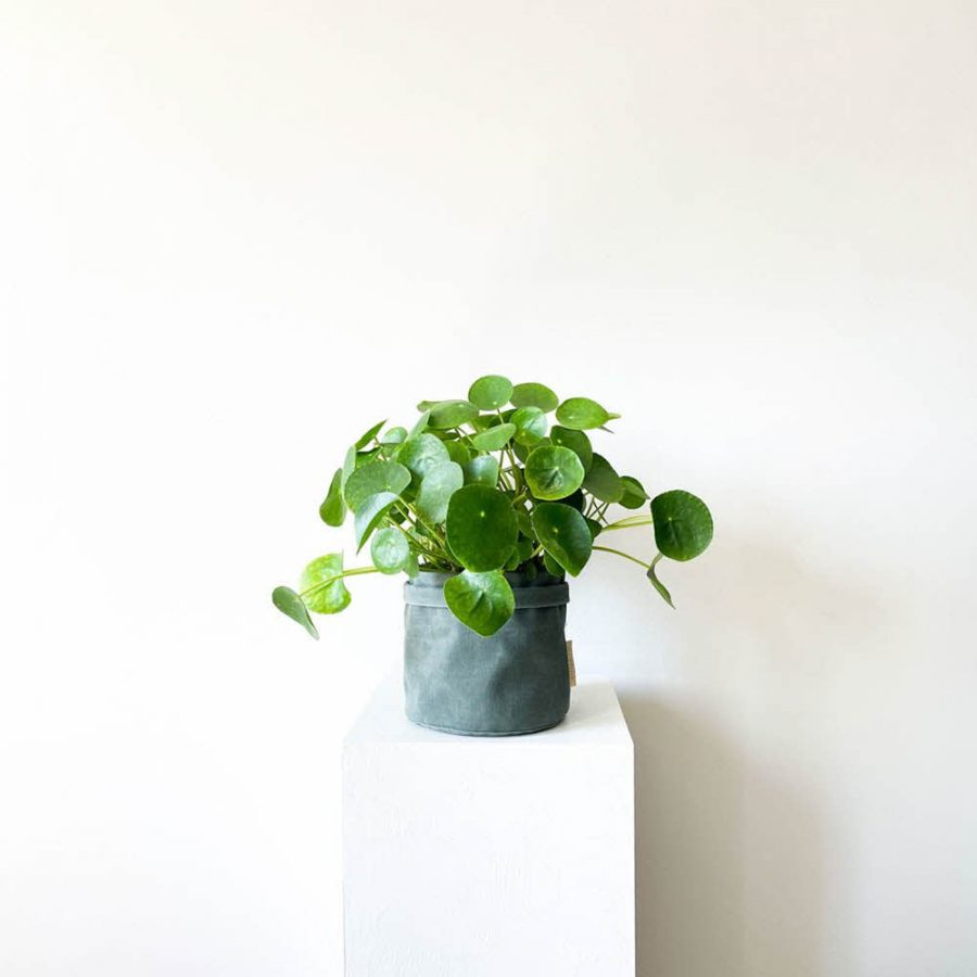 ghp pileapeperomioides 05