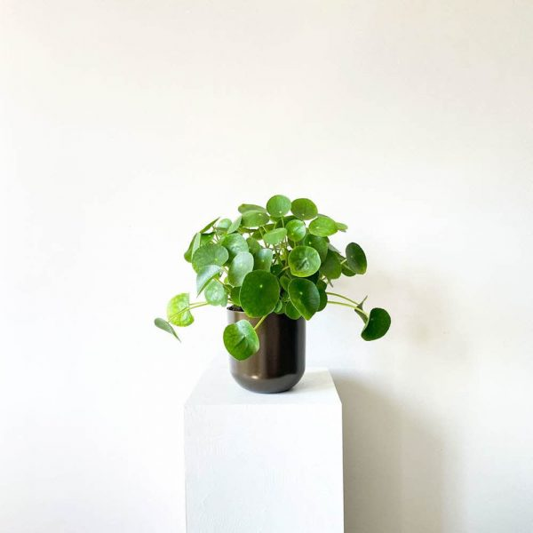 ghp pileapeperomioides 06