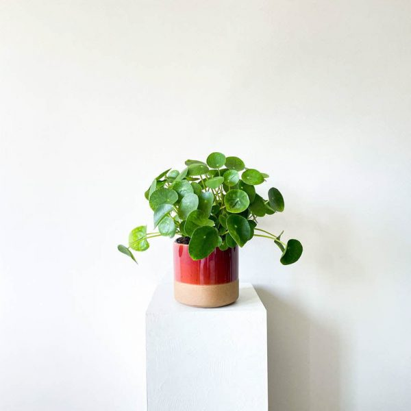 ghp pileapeperomioides 07