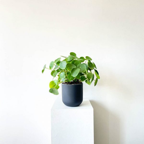 ghp pileapeperomioides 08